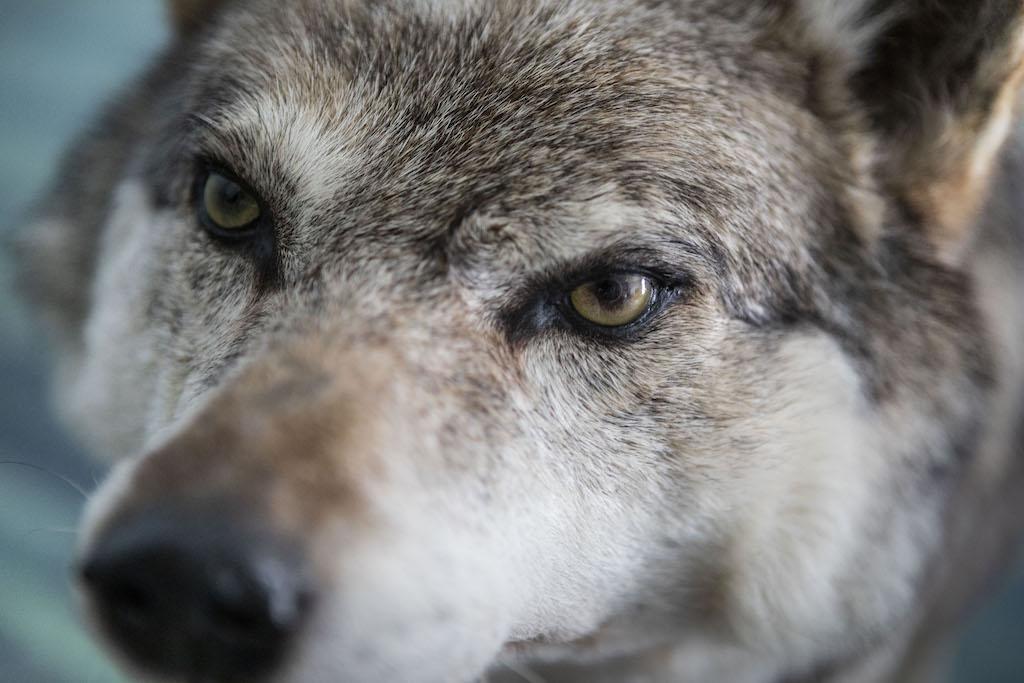 Wolf uit tentoonstelling Kom voor en blijf! in museum STAAL